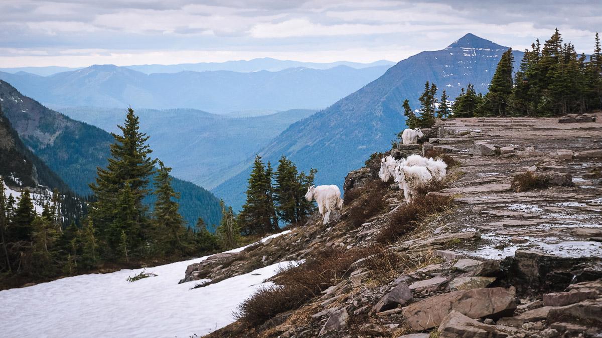 Гірські кози в Glacier National Park, штат Montana