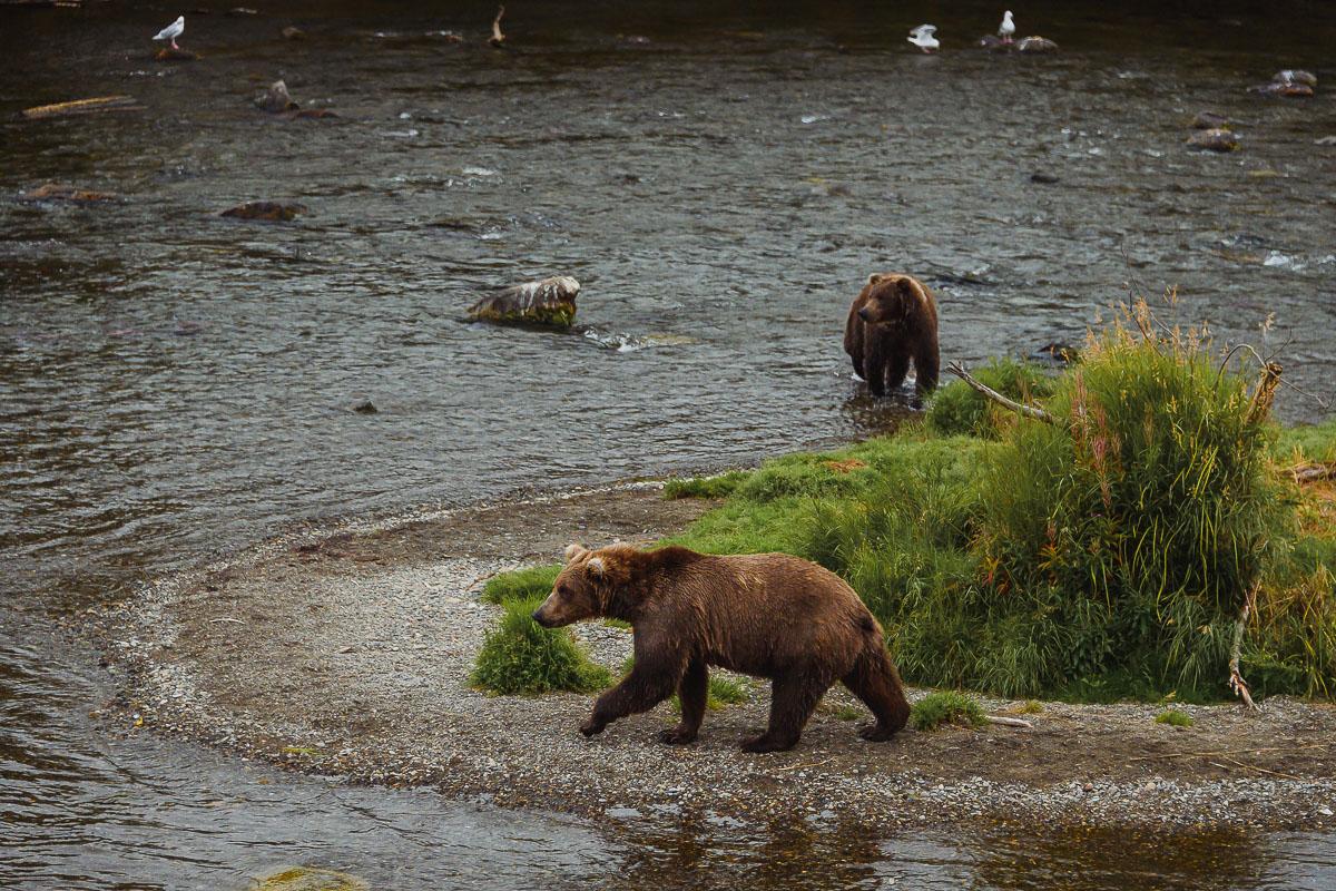 Ведмеді грізлі у Katmai National Park, штат Alaska