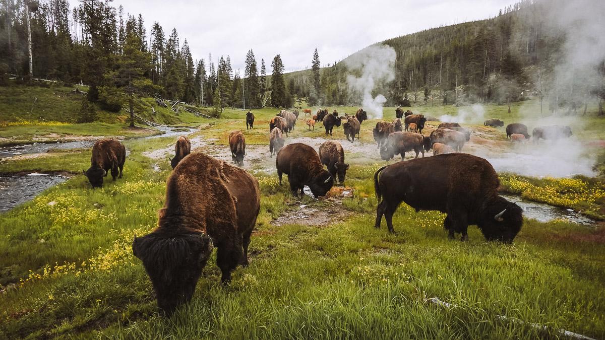 Бізони в Yellowstone National Park, штат Wyoming